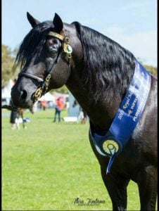 champion Morgan Stallion
