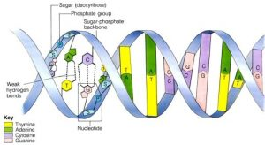 nucleotides 1