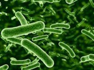 hindgut bacteria