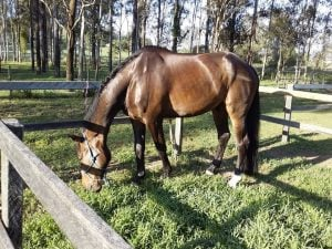 De Morris warmblood gelding