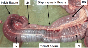 pelvic flexure in horse's digestive tract