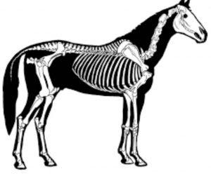 Horse skeletal system