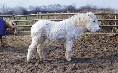 Equine Cushing's Disease