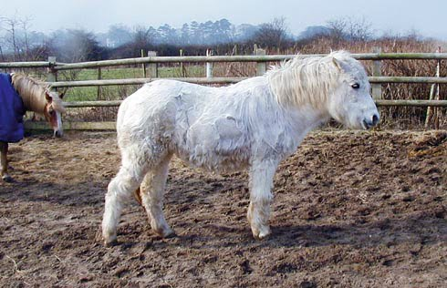 Cushings disease in horses
