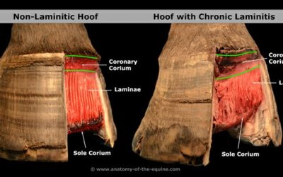 Laminitis Prevention and hoof care
