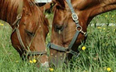 Feeding Oils and Fats to Horses